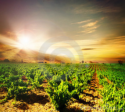 Free Vineyard Royalty Free Stock Photos - 14912458