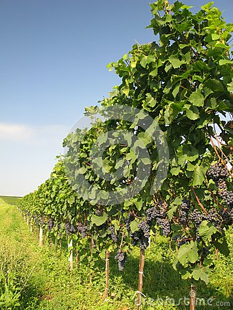 Vineyard Royalty Free Stock Photos - Image: 15707058