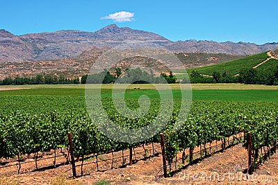Vineyard Royalty Free Stock Photography - Image: 19219017