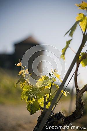 Free Vineyard Royalty Free Stock Photography - 21440857