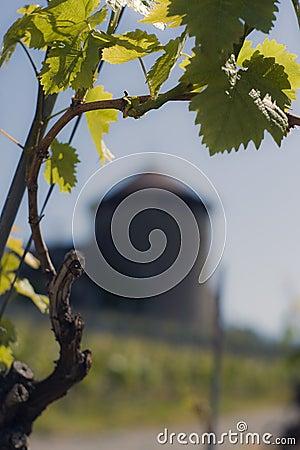 Free Vineyard Stock Photo - 21440870