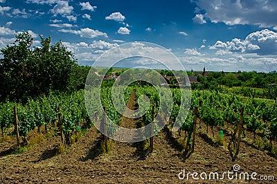 A vineyard.