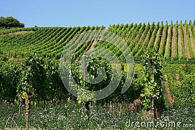 Vineyard in Alsace, France