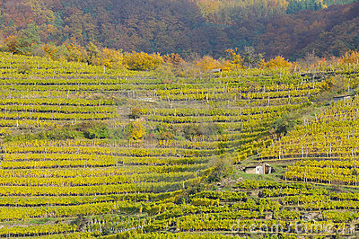 Vineyard in autumn no.6