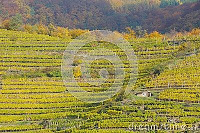 Vineyard in autumn no.6