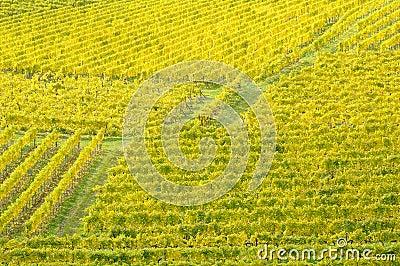 Vineyard in autumn no.9
