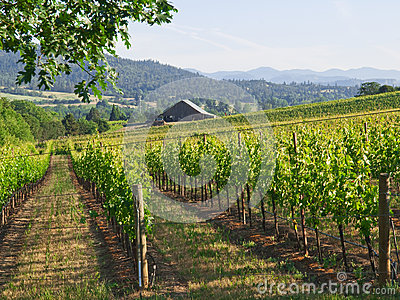 Vineyard with Barn and mountains