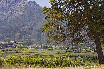 Vineyard in Bolson, Argentina (with big tree)
