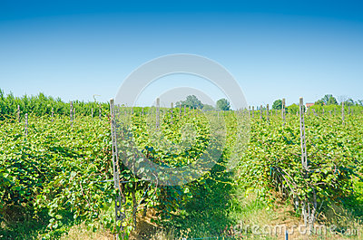 Vineyard on a bright day