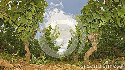 Vineyard in Burgundy, Bourgogne. France