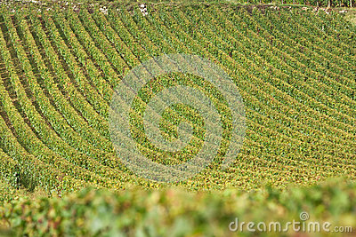 Vineyard in burgundy, france