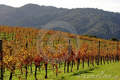 Vineyard on California hill