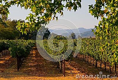 Vineyard in California at sunset