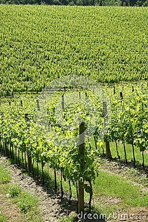Vineyard in the Chianti region (Tuscany, Italy)