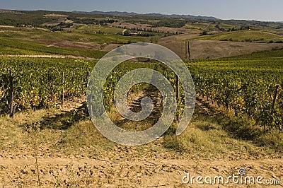 A vineyard in Chianti  Tuscany, Italy