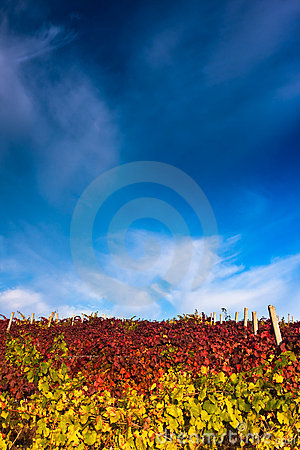Vineyard with dramatic sky