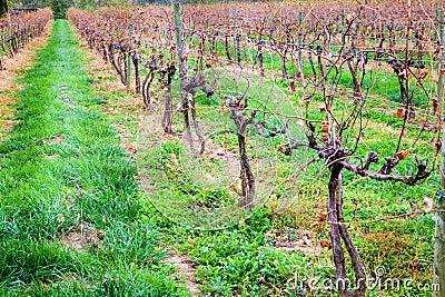 Vineyard in fall