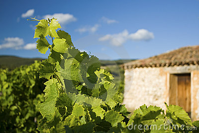Vineyard with Farmhouse