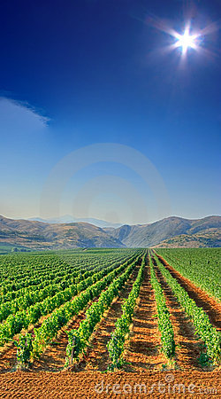 Free Vineyard Field Stock Photography - 4970522