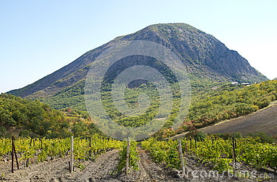 Vineyard field in mountain  in Crimea