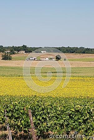 Vineyard  and field of sunflowers