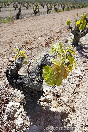 Vineyard first sprouts in row field in Spain
