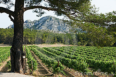 Vineyard in French Provence