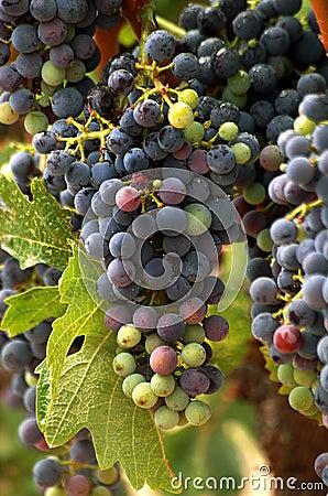 Vineyard Grape Cluster