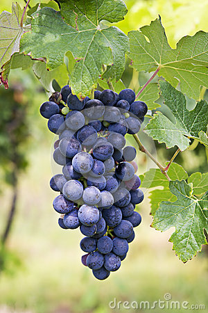Free Vineyard Grape Cluster. Barbera Stock Image - 26418071