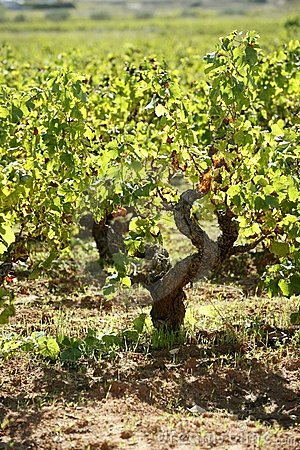 Vineyard, grape fields in mediterranean Spain