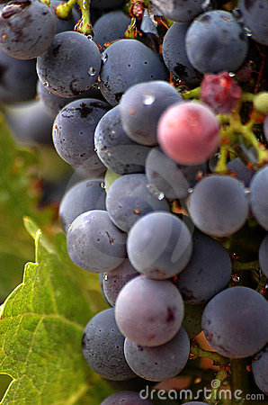 Vineyard Grapes Close Up
