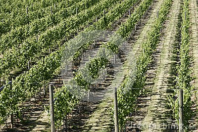 Vineyard Grapes Vines