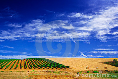 Vineyard or grapewine in tuscany italy