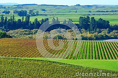 Vineyard in Hawkes Bay