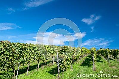 Vineyard in Hessen Germany