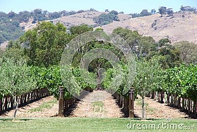 Vineyard & Hills