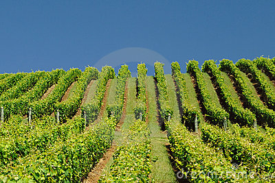 Vineyard on Hillside