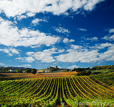 Free Vineyard In Italy Royalty Free Stock Photo - 6377455