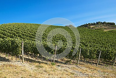 A vineyard in Italy