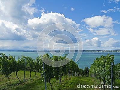 Vineyard by the lake