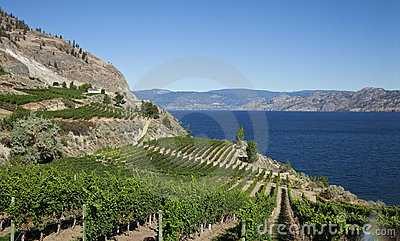 Vineyard With Lakeview