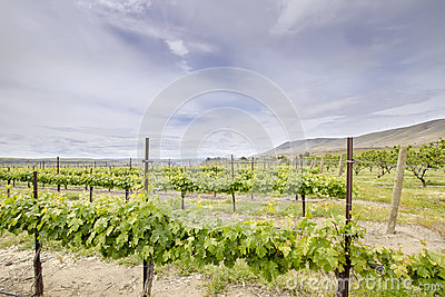Vineyard Landscape in Maryhill Washington State