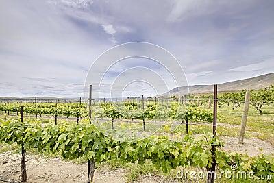 Vineyard Landscape in Maryhill Washington State