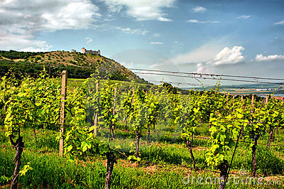 Vineyard with medieval ruin