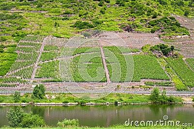 Vineyard in Moselle valley