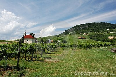 Vineyard near Balaton
