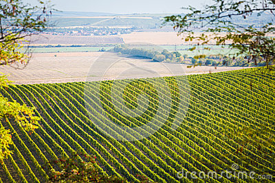 Vineyard with nearby fields