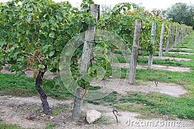 Vineyard in Niagara-on-the-lake, Ontario, Canada