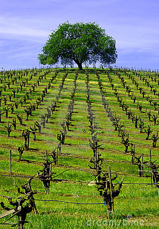 Free Vineyard Oak Stock Photos - 1523623