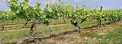 Vineyard Panoramic Cognac France
